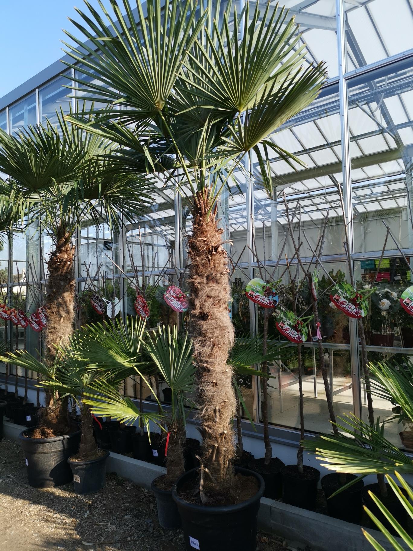 palmiers rtp vente de palmiers plantes et fleurs pas. Black Bedroom Furniture Sets. Home Design Ideas