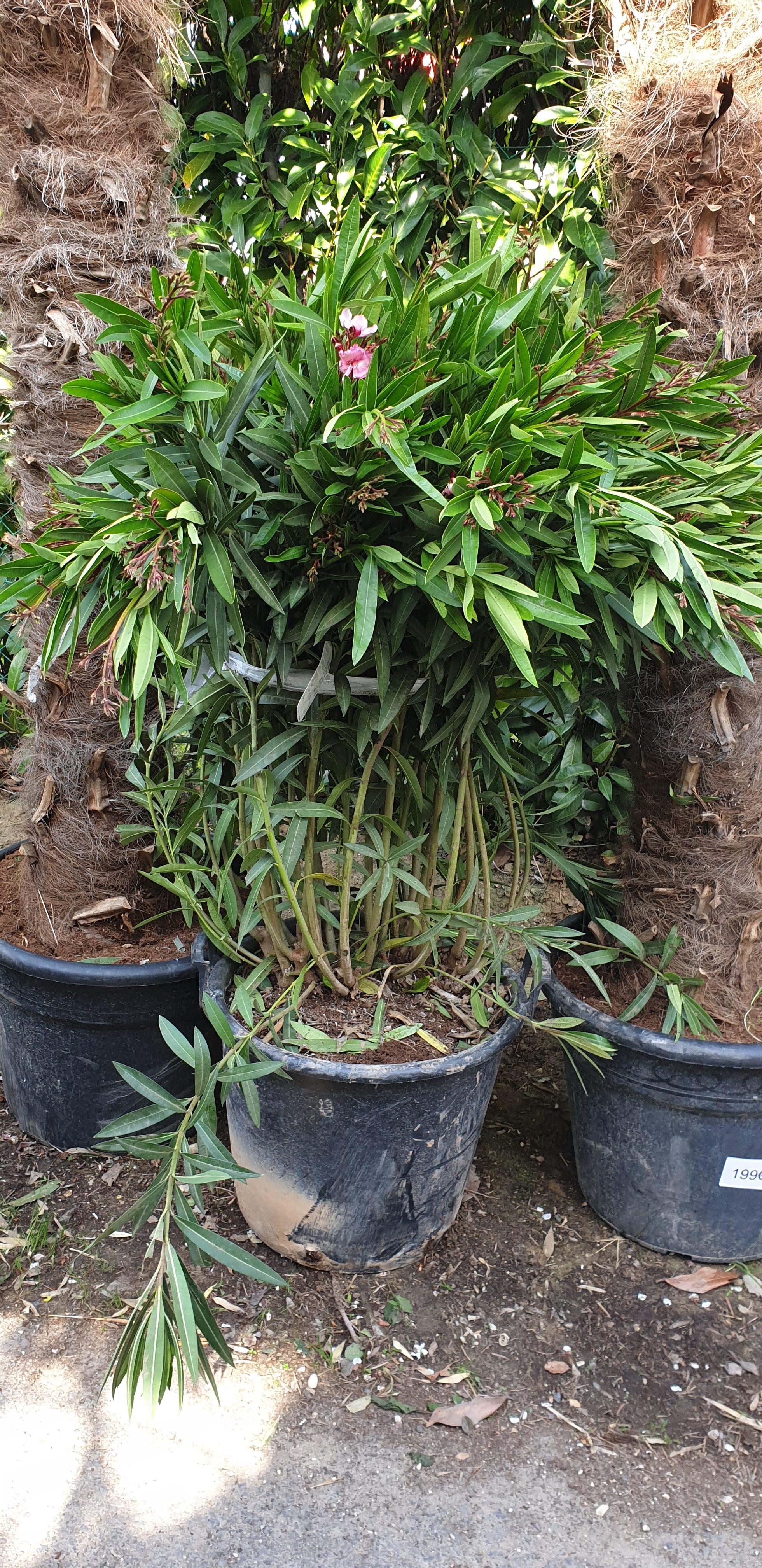 Palmiers Rtp Vente De Palmiers Plantes Et Fleurs Pas